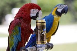 Chisinau, Moldova: A parrot performs a stunt