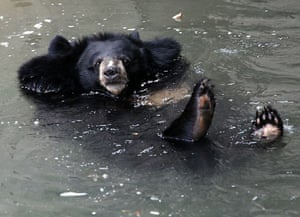 Sofia, Bulgaria: A Himalayan black bear cools off on a hot day in the city zoo