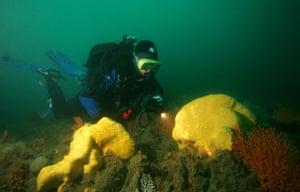 Yellow sponge, a new species