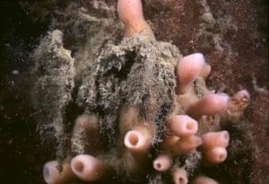 Haliclona (Soestella) xena, a new species od sea sponge