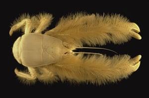 Yeti crab, a new species