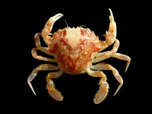 MArbled crab, a new species