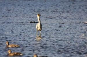 heron eats duckling