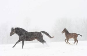 Lexington, US: A mare and her foal run through the falling snow on Shadwell farm