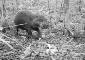 An elusive and endangered pygmy hippopotamus