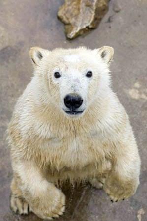 Budapest, Hungary: Jorek, the one-year-old, 150kg polar bear cub