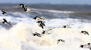 A flock of oystercatchers fly over breaking waves between Allonby and Silloth