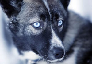 Svalbard, Norway: A young husky pup who will soon be used as a sled dog
