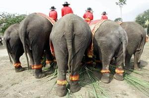 Ayutthaya, Thailand: Elephants eat fruits during the round table feeding ceremony