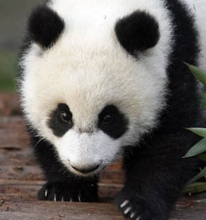 A baby panda at the Chengdu Research Base of giant panda Breeding