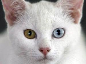 A diamond-eye Thai cat or 'Khao Manee'