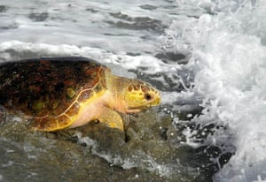 Urchin, loggerhead sea turtle