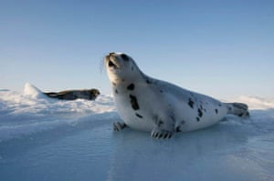 Charlottetown, Canada: A harp seal pup lies on an ice floe