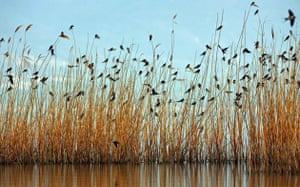 Macedonia: Hundreds of swallows stand on canes on Dojran lake