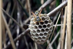 Amman, Jordan: A hornet on a honeycomb
