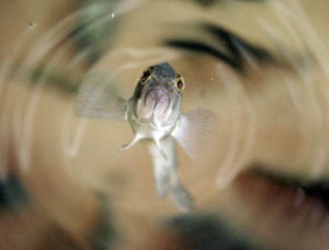 A six-month-old sea bass swims to the water surface in a tank at the Marine Biological Laboratory