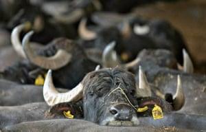 Ciorlano, Italy: Buffalo at a farm