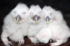 Leiferde, Germany: Three brown owl siblings