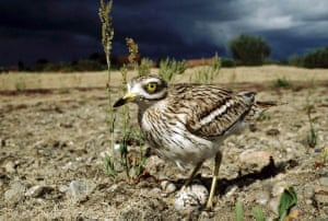 A stone curlew
