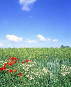 camomile and poppy beside a barley cornfield
