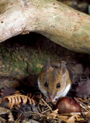 A wood mouse