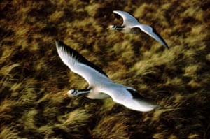 two bar headed geese