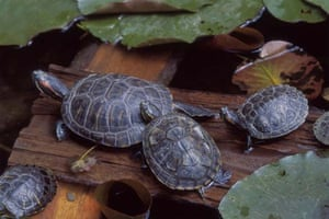 red eared terrapins