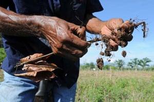 Farmer check cocoa plants Coast Rica