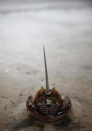 Horseback crab