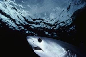 Bigeye Thresher Shark