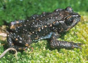 Incilius holdridgei