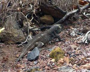 La Palma Giant Lizard