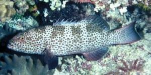 Squaretail Coral Grouper (Plectropomus areolatus)