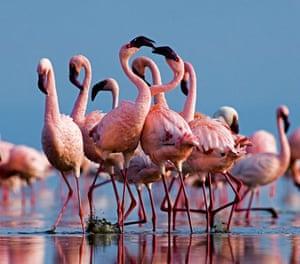 Lesser Flamingos (Phoeniconaias minor) group in display Lake Nakuru, Rift Valley, Kenya