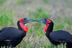 Ground Hornbills passing food Kenya