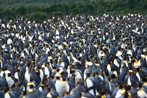 King perguins