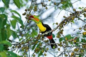 Keel-billed toucan Ramphastos sulfuratus brevicarinatus feeding on fruits Tikal Guatemala