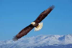 Bald Eagle, Haliaeetus leucocephalus, Homer, Alaska