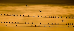 Reitwein, Germany: Starlings on a wire as dawn