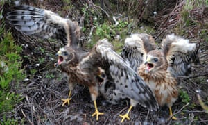 Bowland Fells, UK: Rare one month old hen harrier chicks
