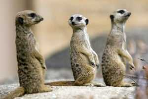 Basel, Switzerland: Three young meerkats or suricates (Suricata Suricatta) in their enclosure at the zoo Keystone, Patrick Straub