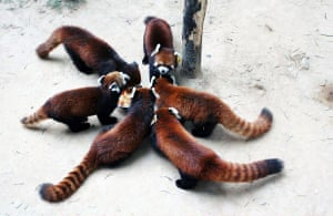 Fuzhou, China: Red Panda cubs at Fuzhou Panda World