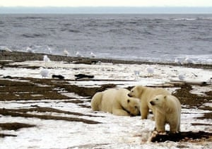 Beaufort Sea coast, Arctic: A polar bear and two cubs