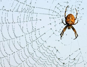 Briesen, Germany: A European garden spider (Araneus diadematus) on its web