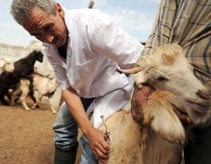Oulad Bourzek, Morocco: A vet vaccinates a goat at a farm