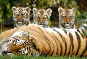 Three eleven week old Siberian Tiger cubs with their mother at Howletts Wild Animal Park
