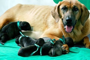 The world's first cloned dogs