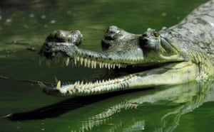 A gharial. Most of these crocodile-like reptiles have all but disappeared and now only survive in remote stretches of the river