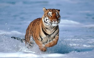 A Bengal tiger at the point where the Ganges meets the sea