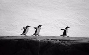 A hat-trick of penguins, Antarctica.  Amber Maitland, UK.  Highly Commended, Wild Portfolio Category 2006